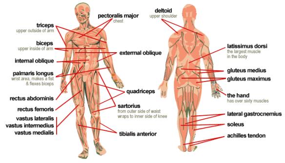 musclemap