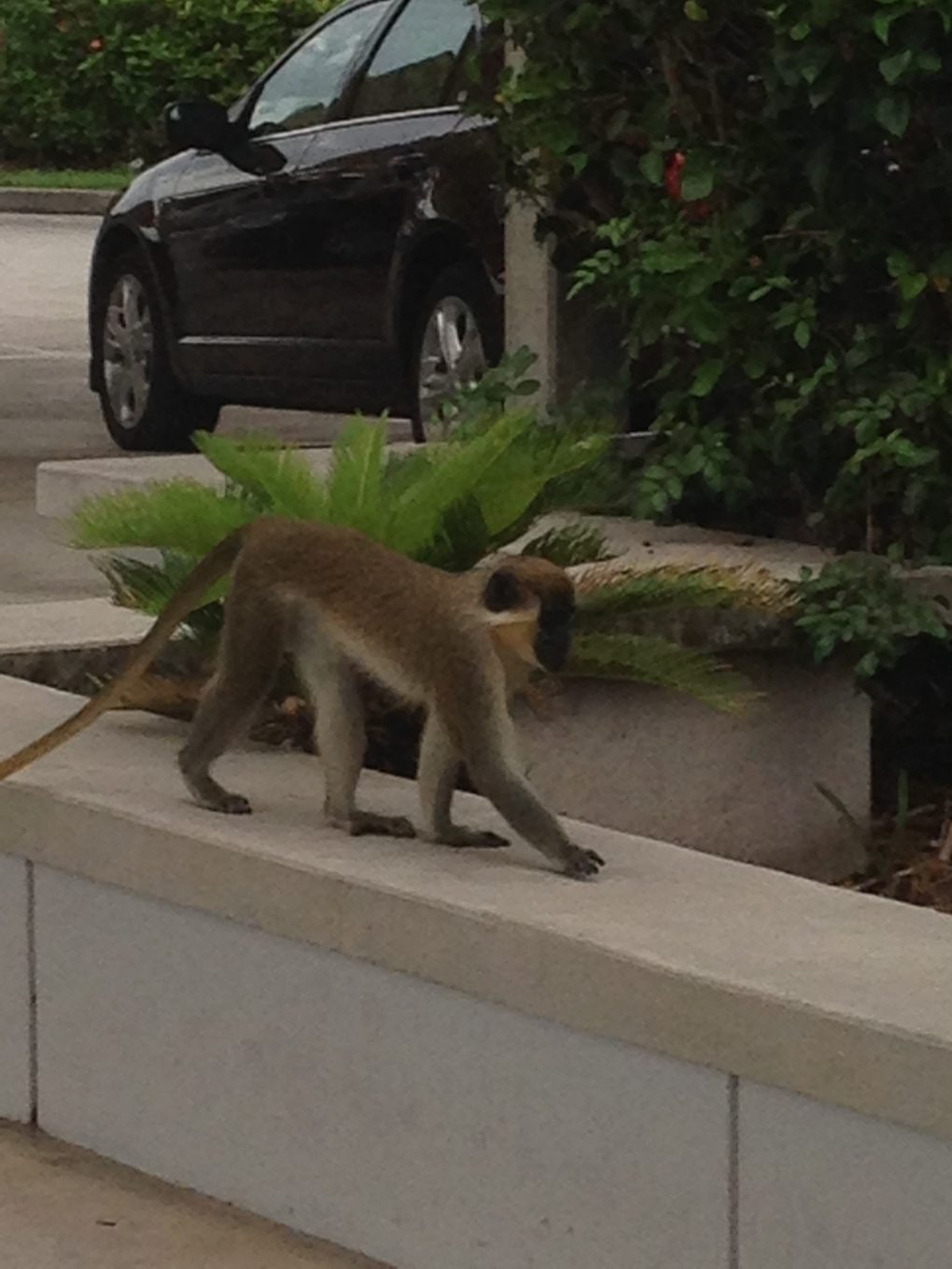 This little monkey was one of nearly a dozen strolling around the rental agency's parking lot.